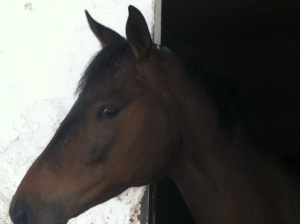 Ocotillo -- 2-year old gelding